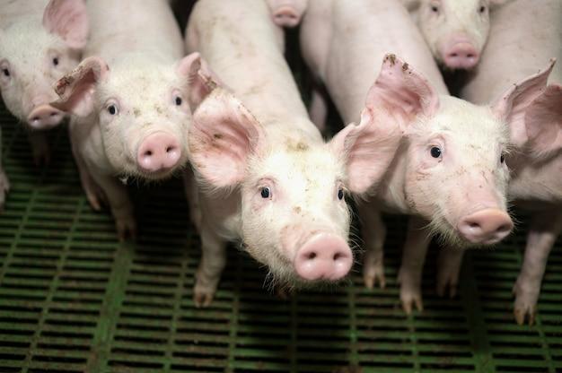 繁殖のために農場にいる多くの豚