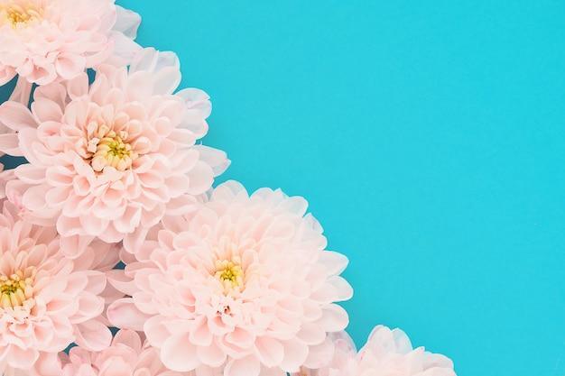 青色の背景に黄色のセンターを持つ多くのピンクの菊の花。