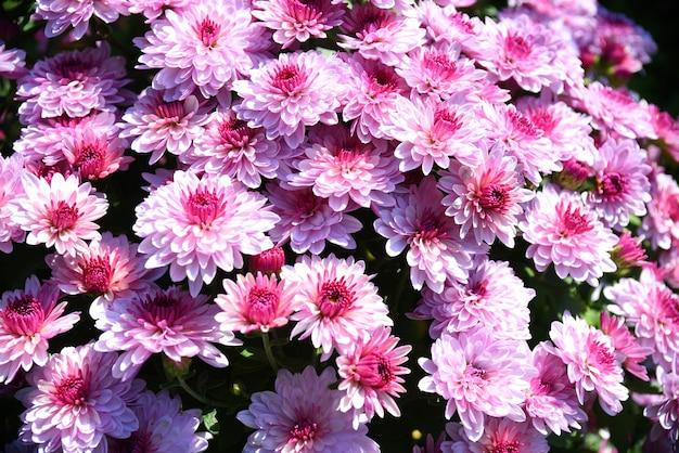 秋の日差しの下でたくさんのピンクの菊