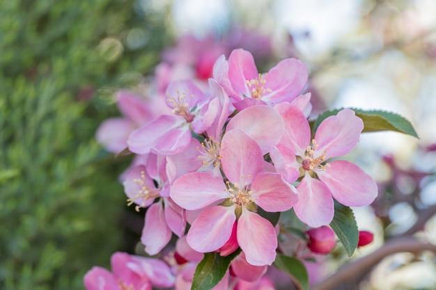 정원에 있는 과일 나무의 개화 가지에 많은 분홍색 꽃