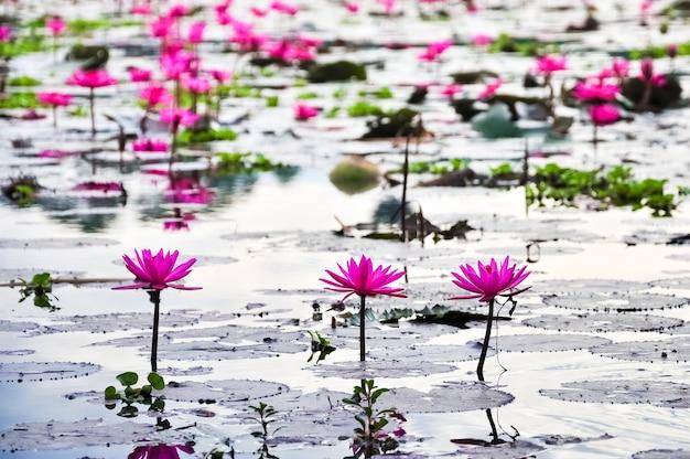 池にたくさんのピンクの蓮の花