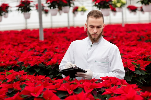 Many pots of red poinsettia in the greenhouse. a young man with tablet check-in the plants. work in a greenhouse, gardening
