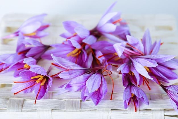 多くの紫色のクロッカスサティバスの花が分離されました。最も高価なスパイス。