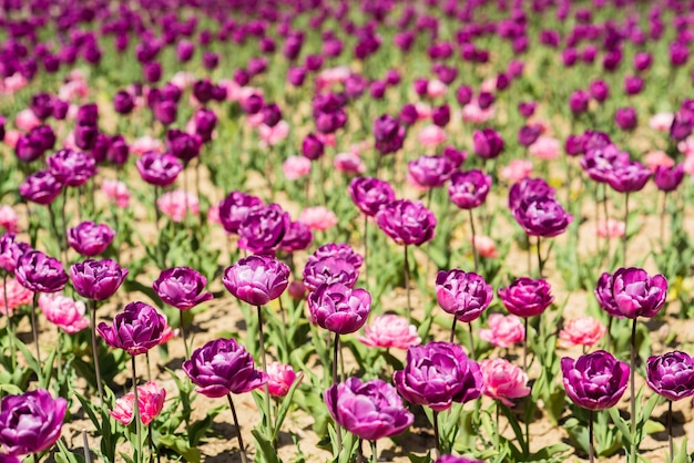Многие фиолетовые свежие тюльпаны. цветочная ферма и магазин. с днем матери. женский день концепция. 8 марта. весенне-летний сезон. красивый аромат и запах. понятие аллергии. красота. поле тюльпанов.