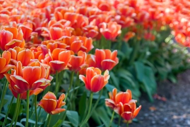 Многие красные тюльпаны цветы на клумбе