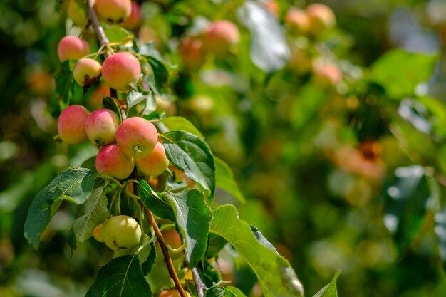화창한 여름날 사과 나무 가지에 많은 익은 사과