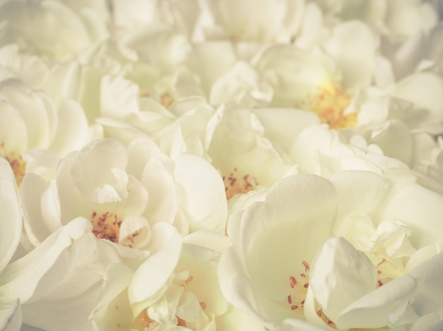 Many roses close-up. aromatherapy for relaxation.