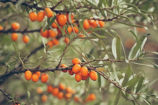 秋の自然の中で木の枝に生えている多くのシーバックソーンベリー