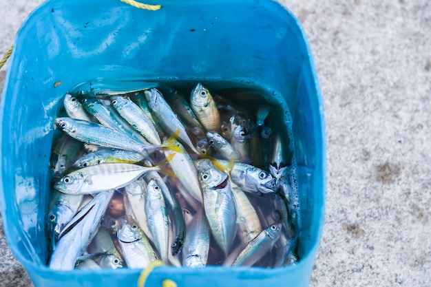 Many small fishes from local fishing near the sea are kept in a blue container