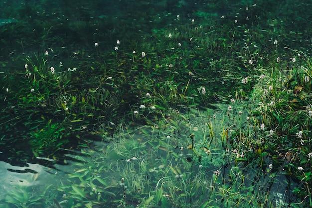홍수 후 수중 푸른 잔디 사이 맑은 물에 많은 작은 꽃. 산 호수의 풍부한 초목 사이에 많은 작은 꽃이있는 녹색 자연.