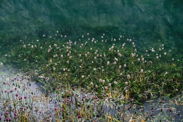 홍수 후 수중 푸른 잔디 사이 맑은 물에 많은 작은 꽃.