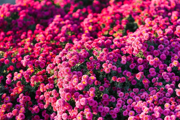 Many small flowers purple or pink chrysanthemums in the autumn garden. flower background
