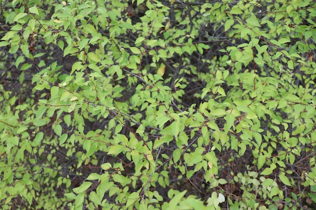 Many small green leaves background of leaves