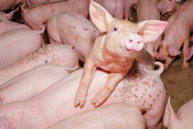 농촌 지역의 농장에있는 많은 작은 새끼 돼지들이 유기농 법을 먹었습니다.