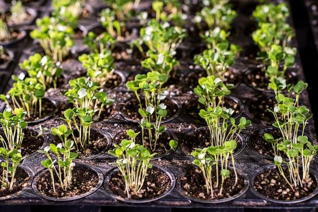 Множество маленьких горшков с крошечными саженцами салата или другого садового растения в почве, растущей в теплице.