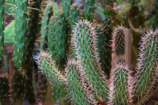 Многие маленькие круглые кактусы в земле, семья. много кактусов