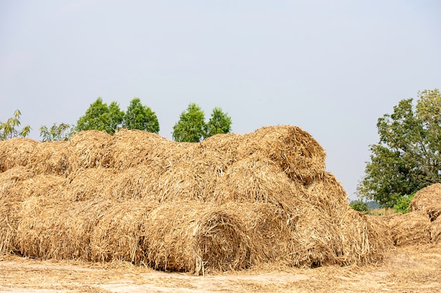 Many straw on the ground background of sky and trees