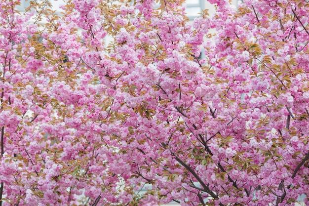Многие деревья красивая сакура сакуры в весеннее время