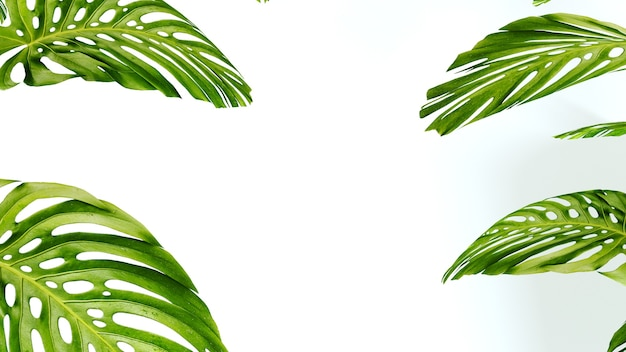 많은 열대 monstera 잎