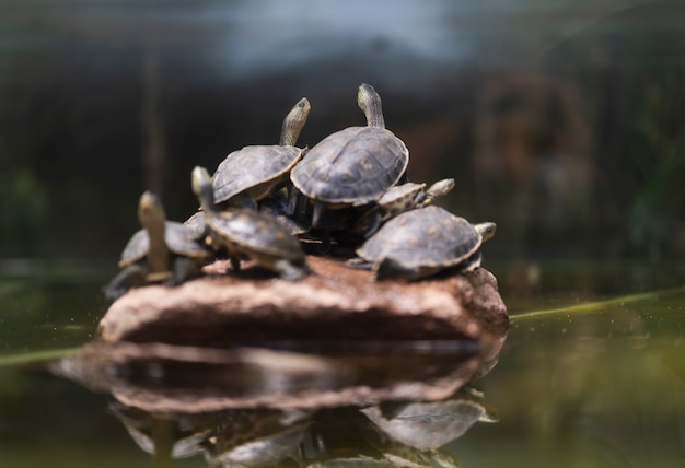 Many turtles come to rest on the rocks.