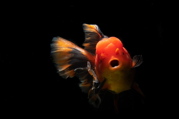 Many type of goldfish ranchu. very cute and beautiful of natural art.