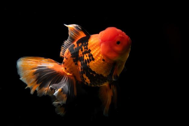金魚らんちゅうの種類が多い。自然アートのとてもキュートで美しい。