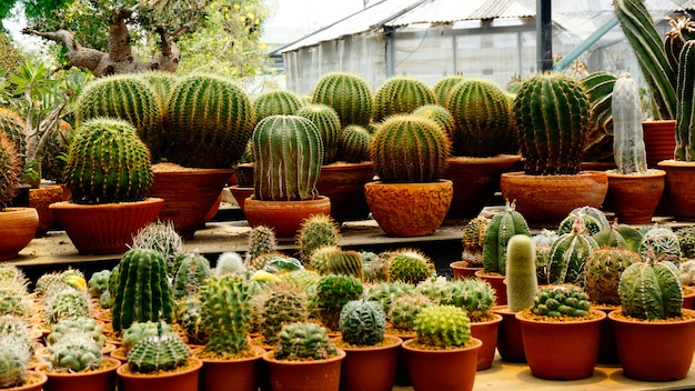 Many types of cactus plants inside the nursery