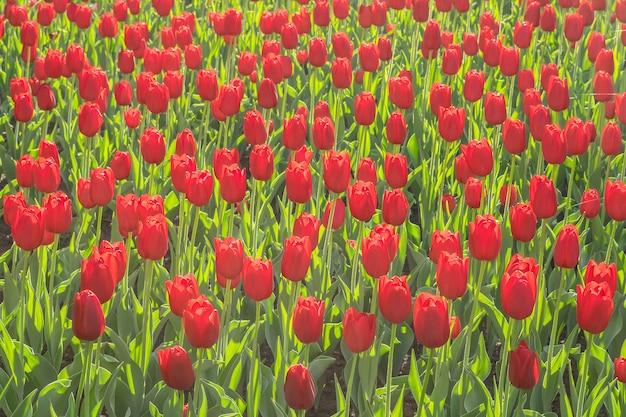 都市公園の多くの品種赤いチューリップ。美しいチューリップの花