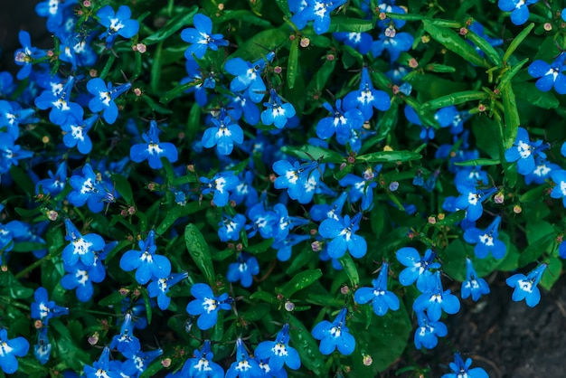 Many wet small beautiful cyan flowers of lobelia close-up
