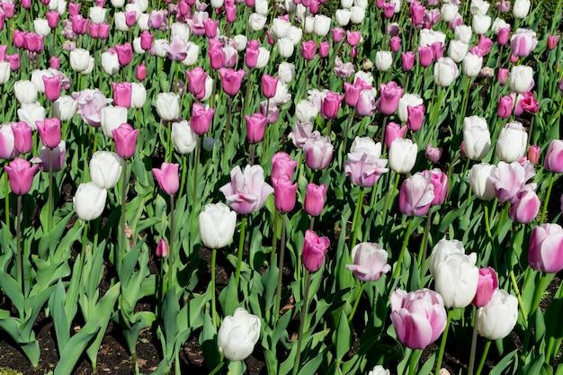 배경 흐리게 정원 침대에 많은 흰색과 분홍색 튤립 꽃을 닫습니다. 에프