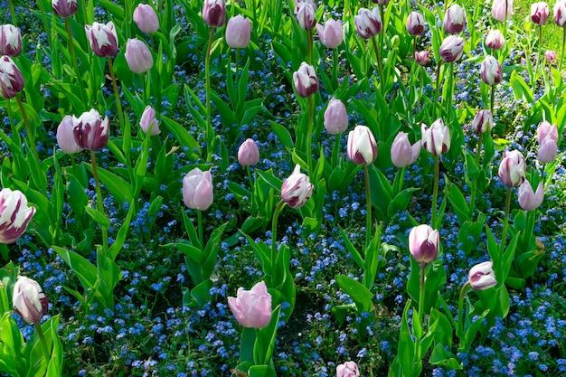 배경 흐리게 정원 침대에 많은 흰색과 분홍색 튤립 꽃을 닫습니다.