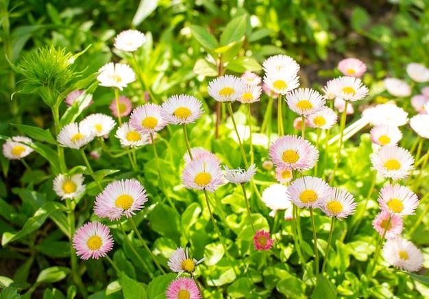 초원에 있는 화창한 날 잔디와 꽃 꼭대기에 있는 많은 흰색 데이지
