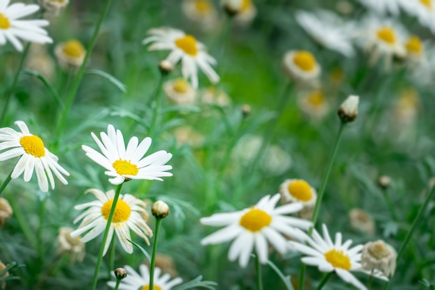 Many white daisy flower in a flwoer bed