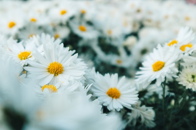 Many white daisy flowers in the garden represent of purity and childlike nature.