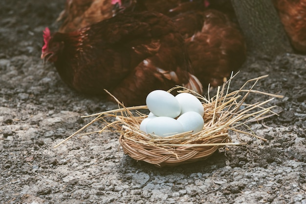 Many white shelled eggs in a wicker basket which is covered withe hay on the ground