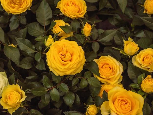多くの黄色いバラ。庭の花。家の花。花の背景。閉じる。