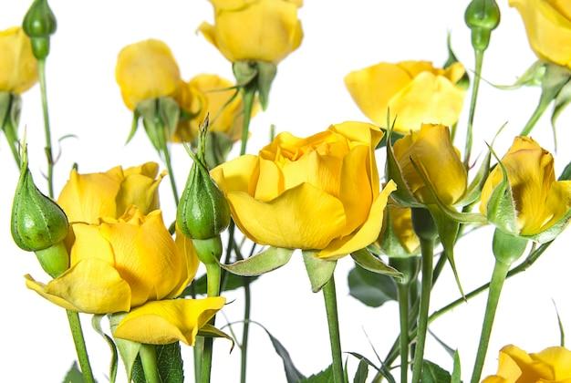 白い背景の上の多くの黄色いバラ