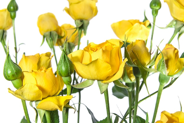 Many yellow roses on white background