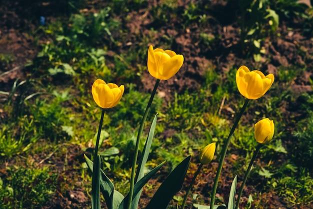 多くの黄色いチューリップは、コピースペースのある緑の草を背景に地面に生えています。