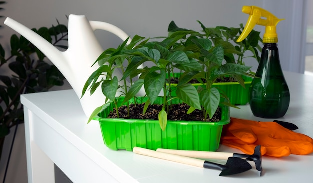 Many young pepper sprouts grown from seed with white watering can, garden tools and sprayer.
