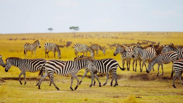 Многие зебры пасутся в поле