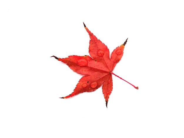 Maple acer tree leaf