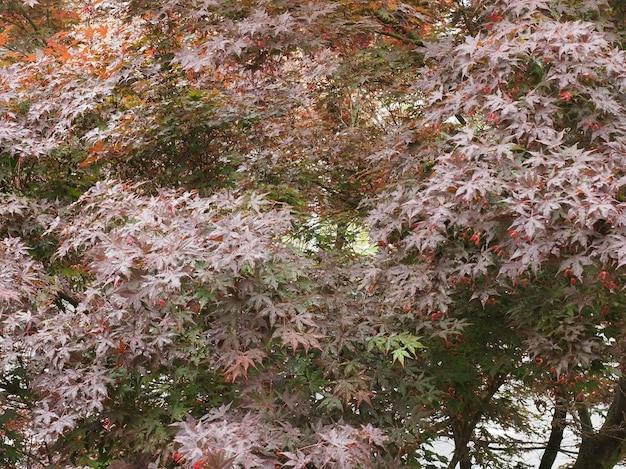カエデエイサーの木の葉