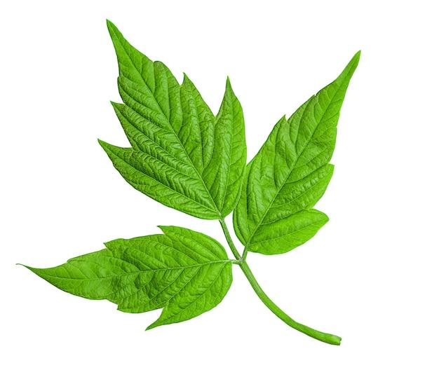 Клен американский (acer negundo). зеленый лист, изолированные на белом фоне