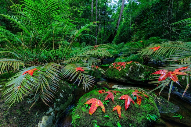 Клен и зеленый папоротник в потоке в тропическом лесу.
