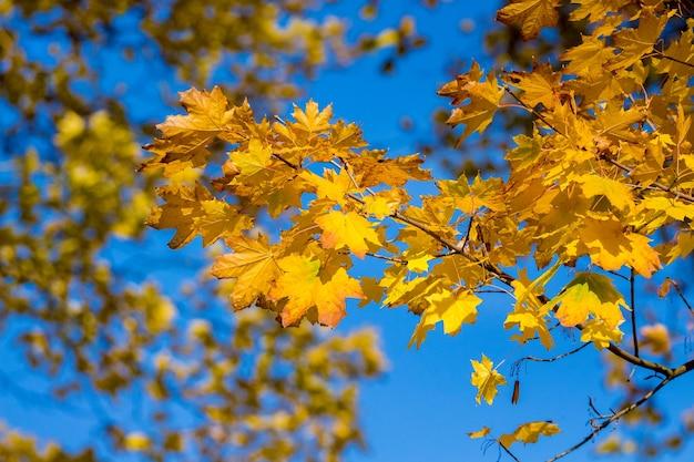 晴天の青空を背景に明るい黄色の葉を持つカエデの枝