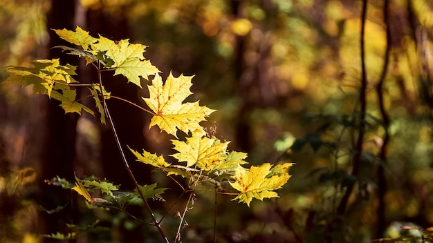 太陽の下で森の黄色い紅葉とカエデの枝