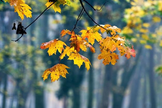 Кленовая ветка с желтыми осенними листьями в солнечном свете на фоне деревьев