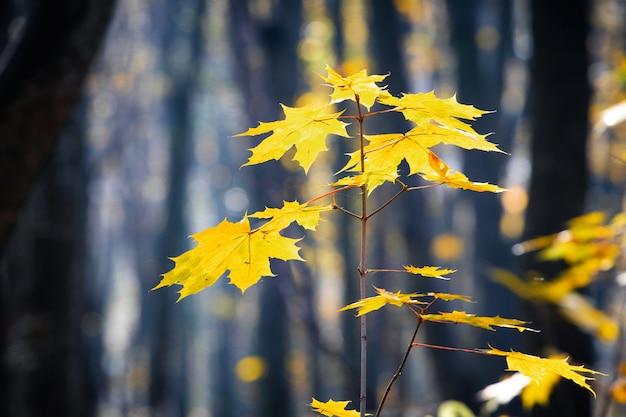 晴れた日の暗い秋の森の黄色の葉とカエデの枝