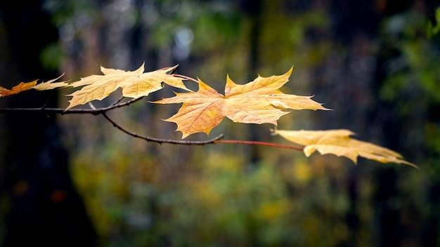暗い秋の森の黄色の葉とカエデの枝